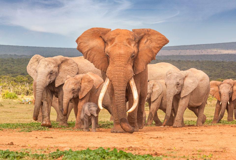 Imagem de uma manada de elefantes africanos
